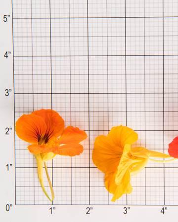 Edible Flower-Nasturtium-Size Grid