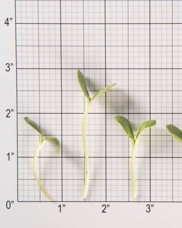Sunflower-Micro-Size Grid