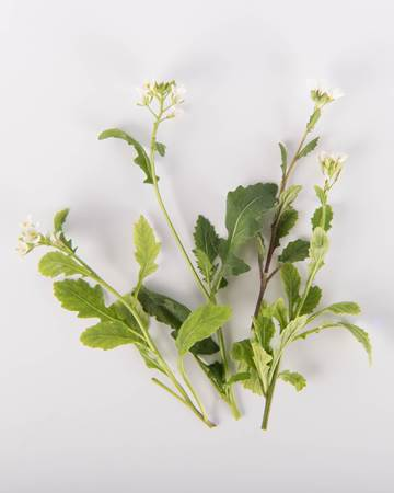 Edible-Flower-Arugasabi-Isolated