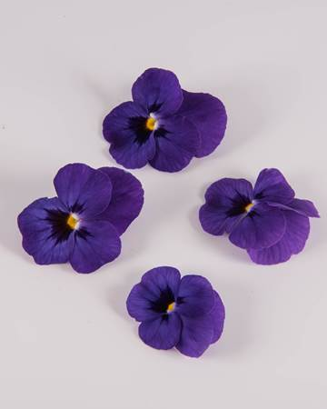Edible Flower-Viola-Blue-Raspberry-Sorbet-Isolated