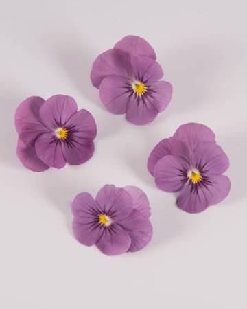 Edible-Flower-Viola-Plum Sorbet-Isolated