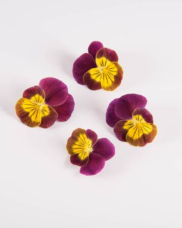 Edible-Flower-Viola-Rhubarb Lemon-Isolated