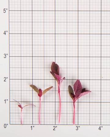 burgundy-amaranth-size-grid
