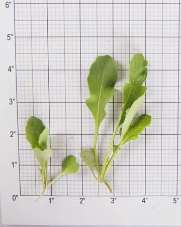 Greens-Arugula-Bowtie-Size Grid
