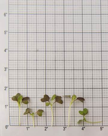 Micro Red Mustard Size Grid