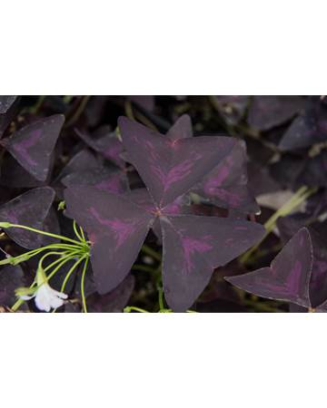 Amethyst Sorrel Growing on Plant