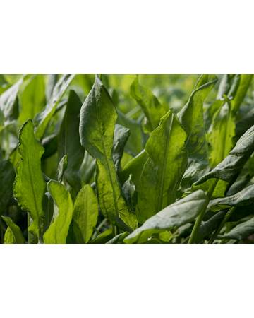 Sorrel Leaves Growing on Plant