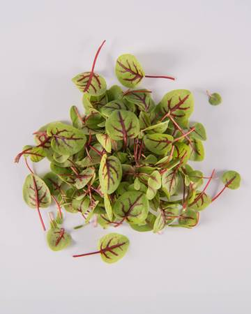 Red-Ribbon-Sorrel-Micro-Isolated