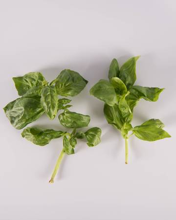 Basil-Full size-Isolated
