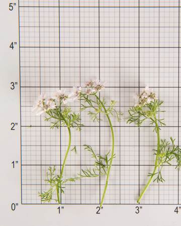 Citrus Coriander Bloom Size Grid