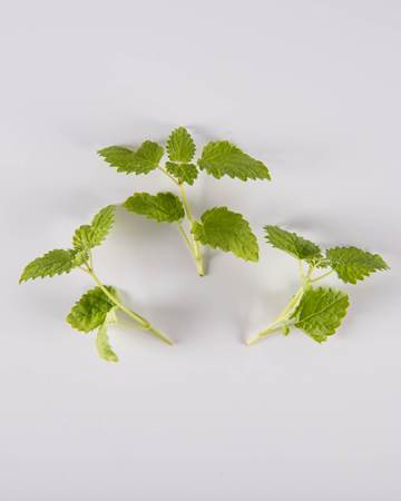 Lemon-Balm-Petite-Isolated