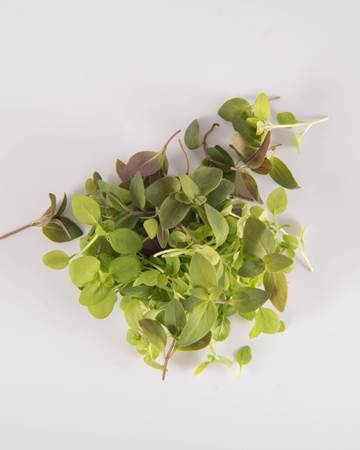 Mint-Microgreen-Mint Sampler-Isolated