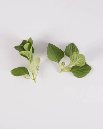 Mint-Demi-Nepitella Mint-Isolated