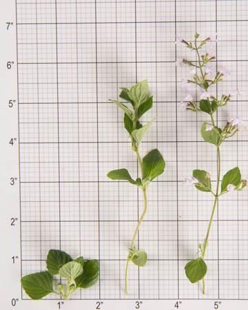 Mint-Nepitella-Mint-Blooms-Size-Grid