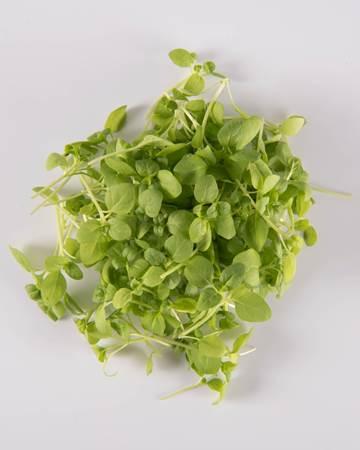 Microgreen Pennyroyal Mint