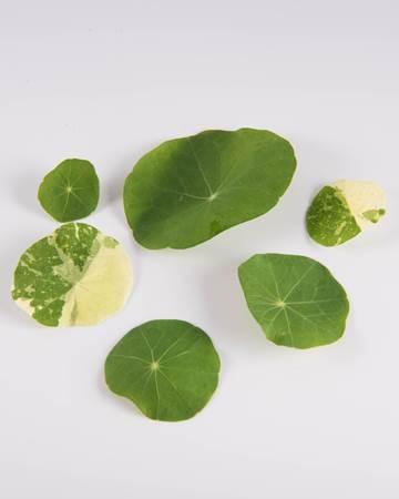Mixed Nasturtium Leaves
