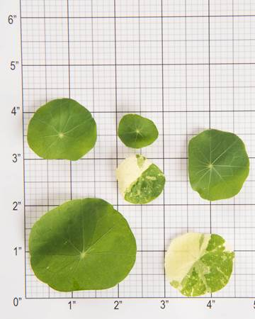 Mixed Nasturtium Leaves Size Grid