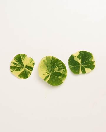 Leaves-Nasturtium-Variegated-Isolated