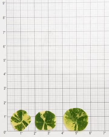 Leaves-Nasturtium-Variegated-Size-Grid