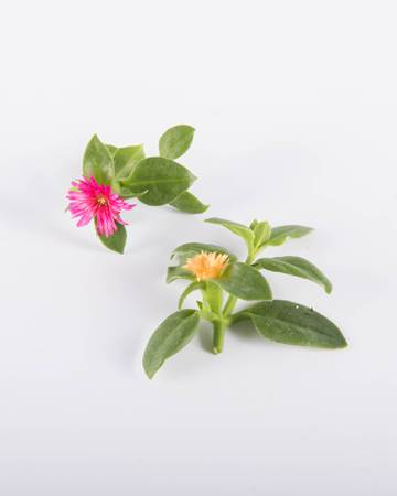 Lettuce-Citrus-Crystal-Lettuce-Blooms-Isolated