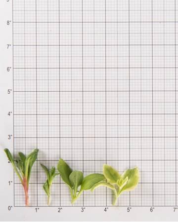 Lettuce-Crystal Lettuce Quartet-Size Grid