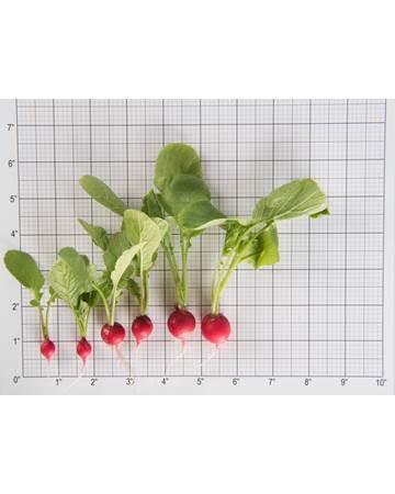 Radish-Cherry Bomb-Size Grid