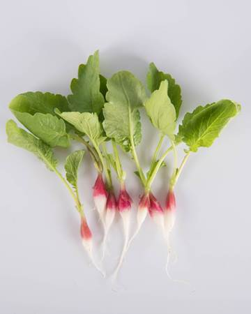 Radish-French Breakfast-Demi-Isolated