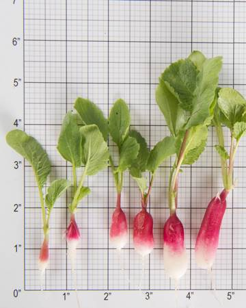 Radish-French Breakfast-Size Grid